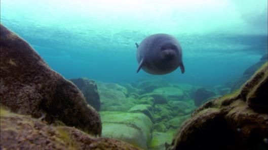 Seals of Lake Baikal 2