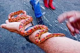 Corn snake in mans hand