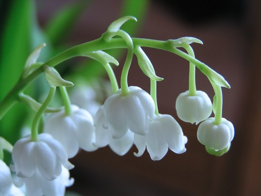 Forest_lily_of_the_valley