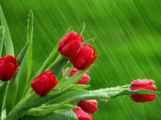 Red-tulips-in-the-rain-hd-spring-flowers-wallpaper