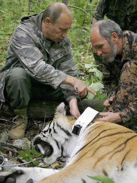 Putin fixes a GPS transmitter on a tiger