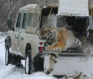 Victor, the tiger freed from a poachers snare released into the wild