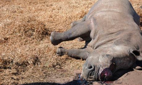 killed rhinoceros