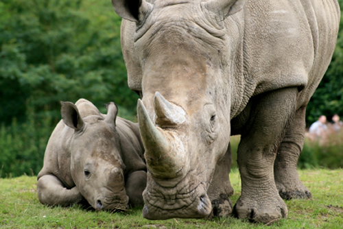 I Don't Want to Protect the Animals – I Want to Create the ... Rhinoceros Baby