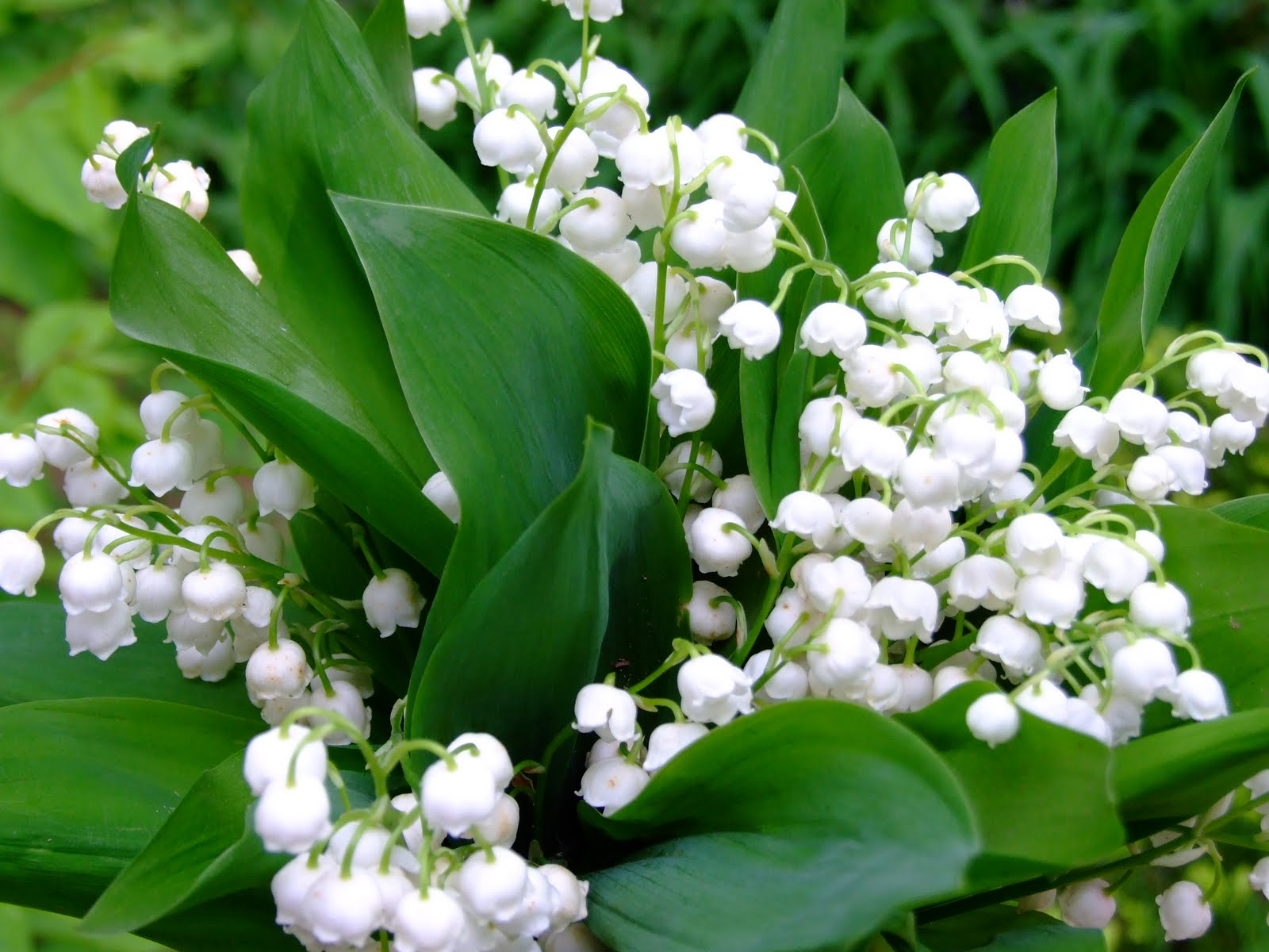 lily of the valley | L...