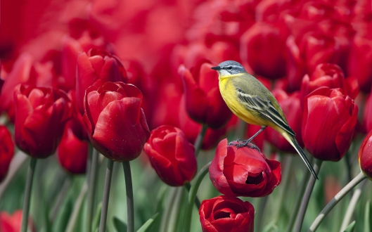tulips birdie