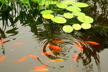auspicious fish
