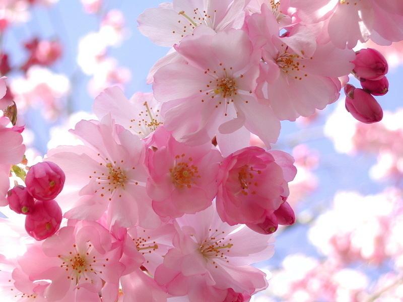 Spring flowers pics lada ray blog cherry blossom spring flower 2 mightylinksfo
